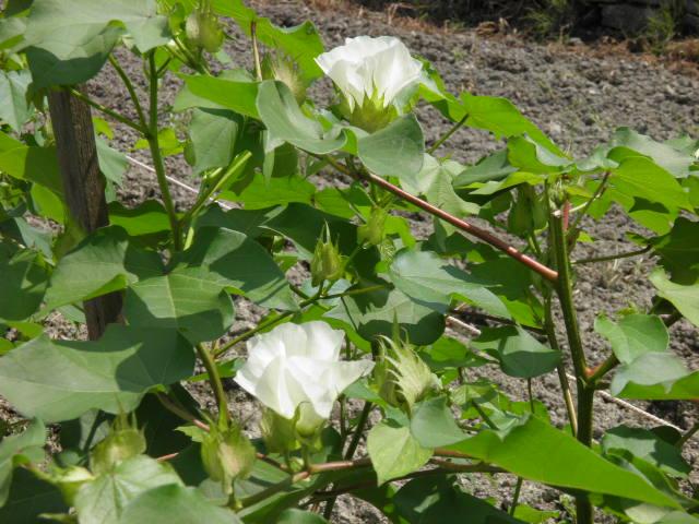 茶綿(ちゃめん)の花が一杯
