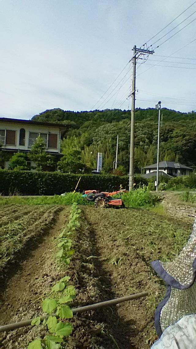 茶綿のポット苗の植栽です